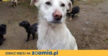 Saba do adopcji,  mazowieckie Warszawa