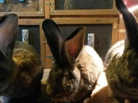 króliki belgijskie samiczki samczyki BOS srokacze OSC