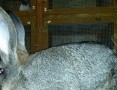 'króliki belgijskie samiczki samczyki BOS srokacze OSC