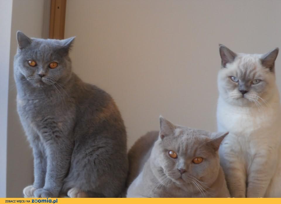 niebieskie i liliowe Cudeńka -Kotki Brytyjskie Rodowodowe! OKAZJA!