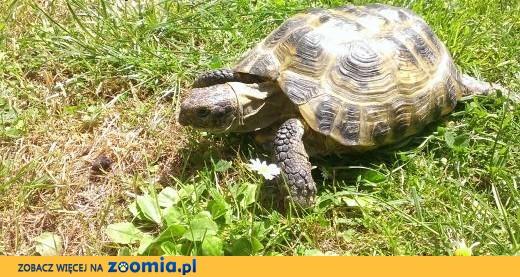 Żółw stepowy,  wielkopolskie Poznań