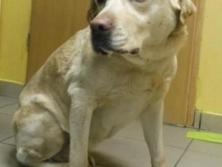 Biszkoptowa sunia w typie labradora szuka domu