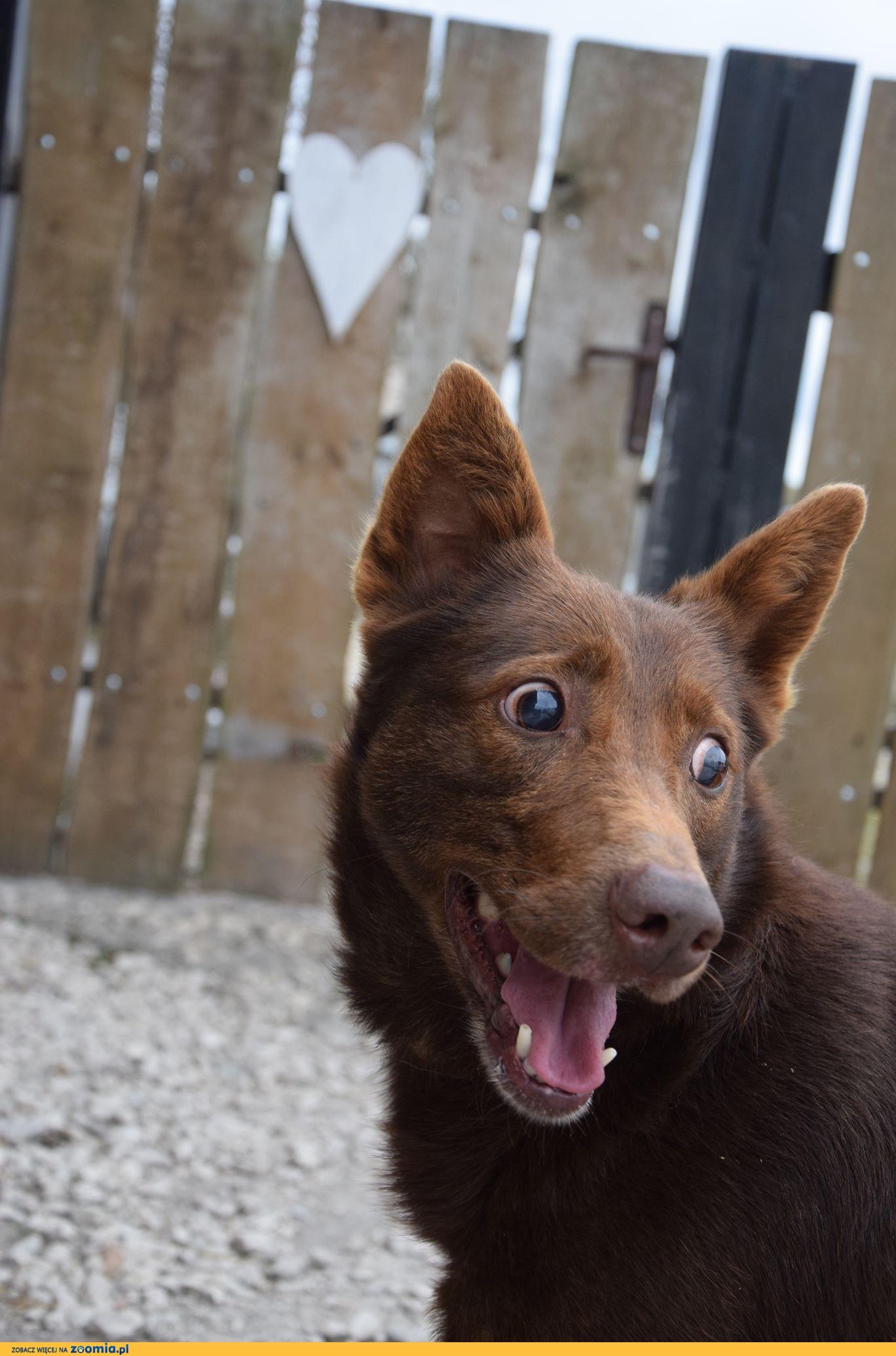 Czeko - wyjątkowy psiak w kolorze mlecznej czekolady skradnie Ci serce!