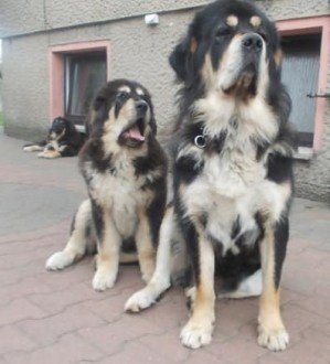 Mastif tybetański-Elyok