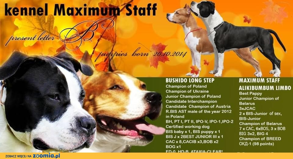 American Staffordshire Terrier !