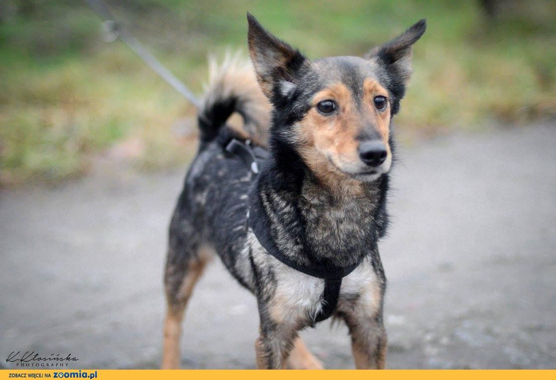 Max wagi piórkowej, przyjazny, nakolankowy, rodzinny psiaczek!