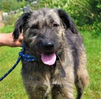 AMOR - fajny psiak w typie sznaucera; do adopcji   małopolskie Kraków