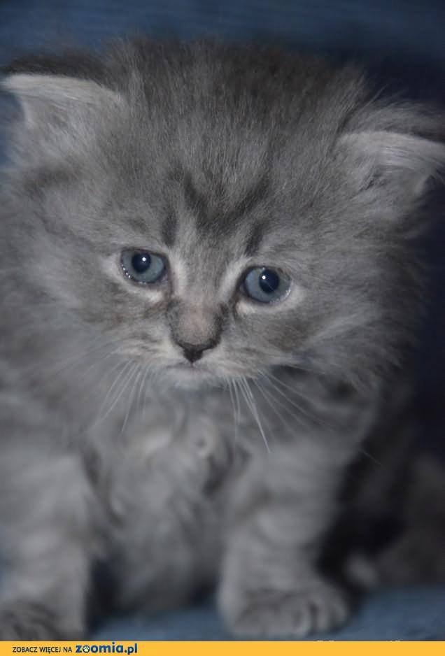 Syberyjskie rodowodowe kociaki