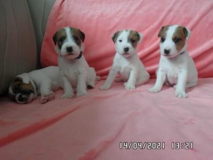 Szczenięta Parson Russell Terrier z Hoxeywood ZKwP/FCI