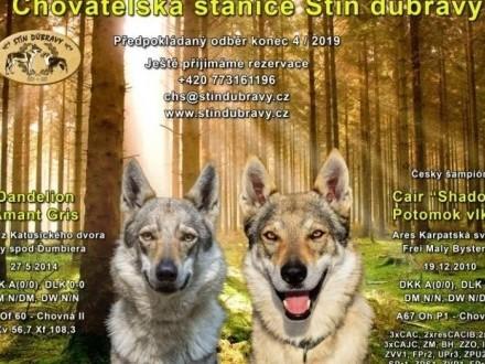 Rezerwacje szczeniąt czechosłowackiego wilczaka