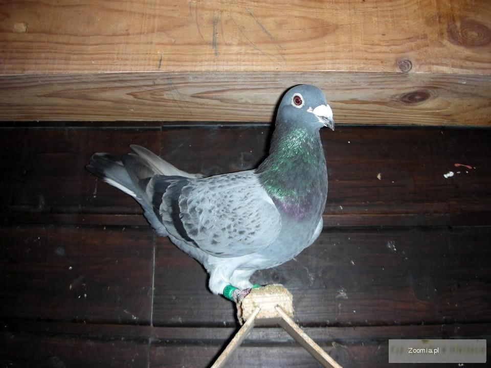 Gołębie Pocztowe Gołębie Ptaki Archiwum Zoomia Pl