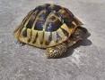 Oddam w dobre ręce żółwia greckiego,  śląskie Częstochowa