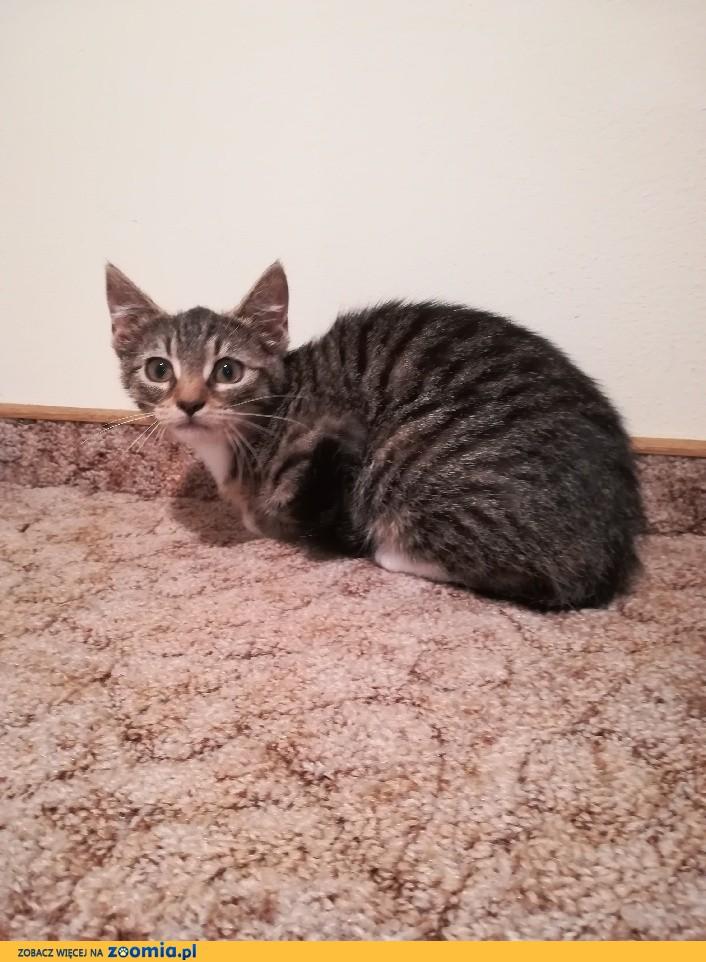 Mała kotka Szarutka szuka domu