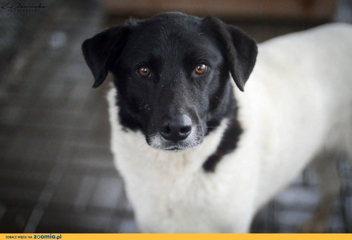 Apollo, grzeczny, niekonfliktowy psia zasługuje na super dom!
