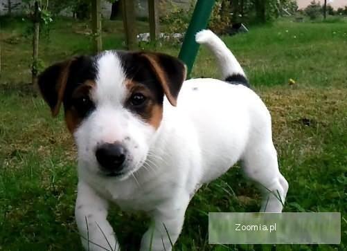 Ogromny Jack Russell Terrier - śliczny szczeniak Hodowla FCI « Jack CR04