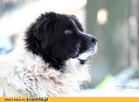 Boss - wyjatkowo cudny pies w typie landseera! :)