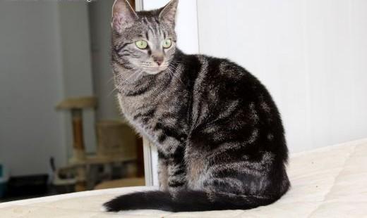 Kontaktowa piękna kotka Shabi   dolnośląskie Wrocław