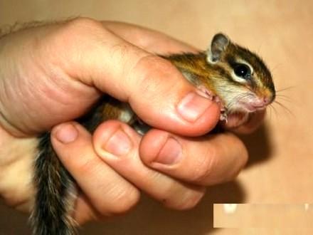 Burunduk wiewiórka syberyjska
