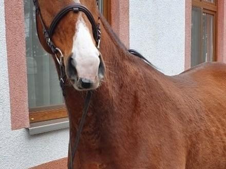 Niemiecki koń sportowy