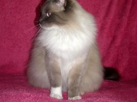 Rodowodowe Kotki Syberyjskie