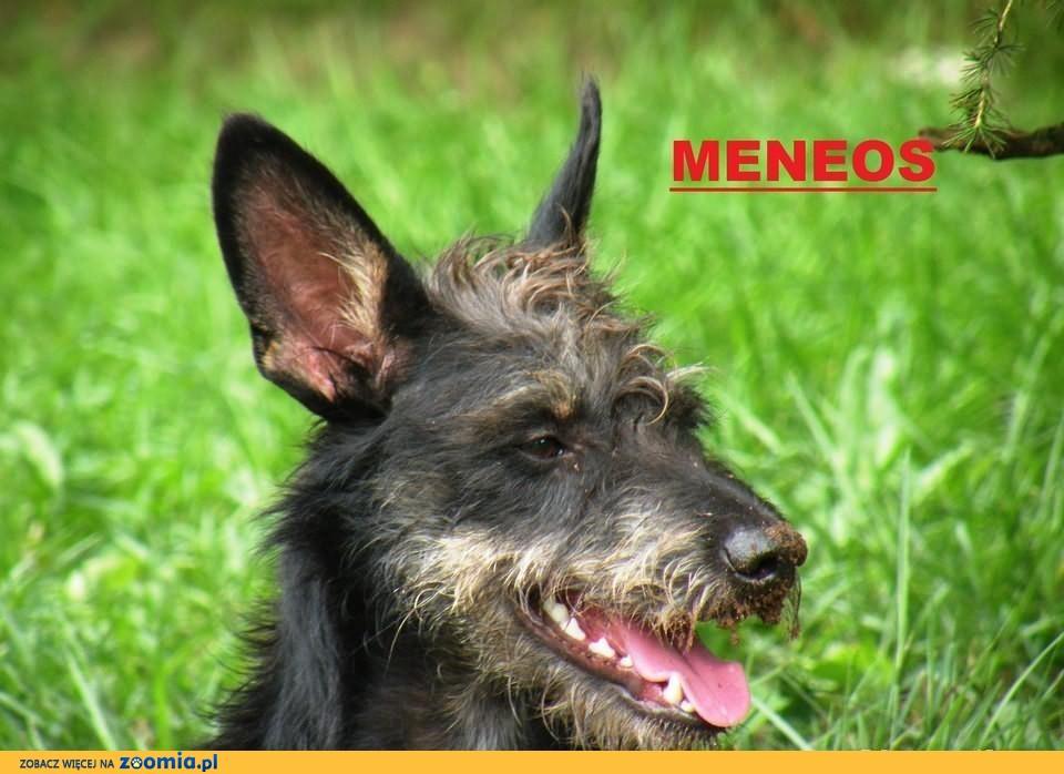 MENEOS - roczny terier do adopcji