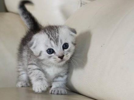Kocięta Munchkin (krótkie nogi)