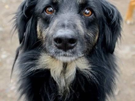 Zygi  pies z najpiękniejszym spojrzeniem świata  uległy  wspaniały