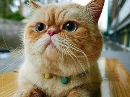 Kupie malego kotka lub kotke rasy egzotycznej lub perskiejna kolanka