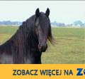 dobrze wyszkolony fryzyjskiej konia, obecnie do przyjęcia_