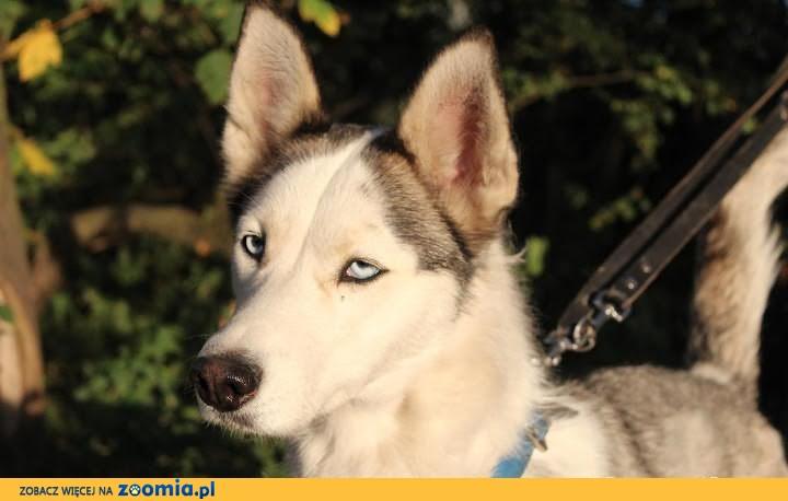 Lori - przepiękna przedstawicielka rasy siberian husky szuka domu