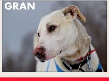 GRAN duży przyjazny spokojny pies indywidualistaADOPCJA   dolnośląskie Wrocław