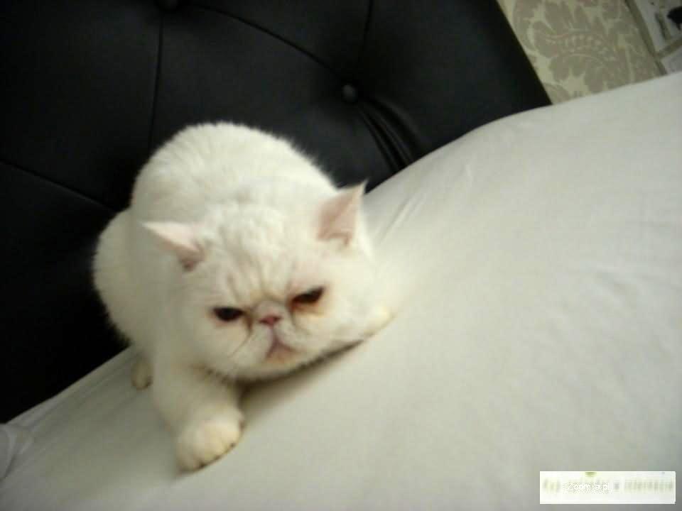 Biała kotka egzotyczna z rodowodem