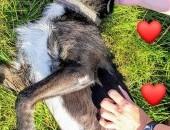 Przyjazny młody psiak  w typie sznaucera_ Pilna adopcja!