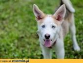 Lucky - szczeniaczek w typie husky szuka odpowiedzialnego domu ,  śląskie Sosnowiec