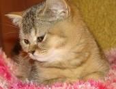 kotka brytyjska z rodowodem FPL i transporterkiem_ do odbioru
