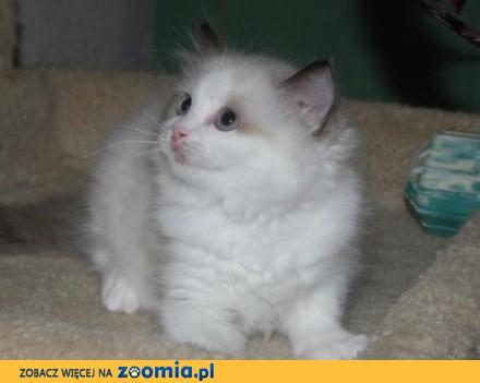 Chion Sired Ragdoll Kitten