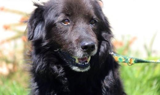 Cygan - spokojny  łagodny pies   mazowieckie Nowy Dwór Mazowiecki