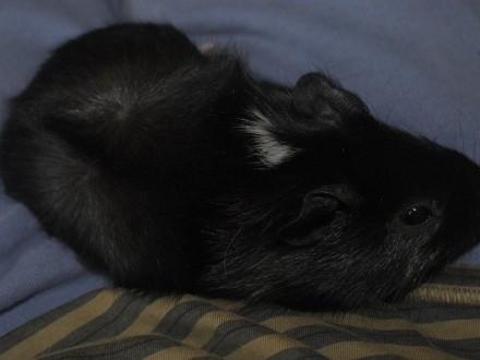 Młoda świnka morska - samica