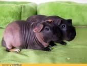 Prześliczna Świnka Skinny, samczyk