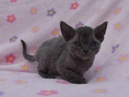 Devon rex niebieski kociaki