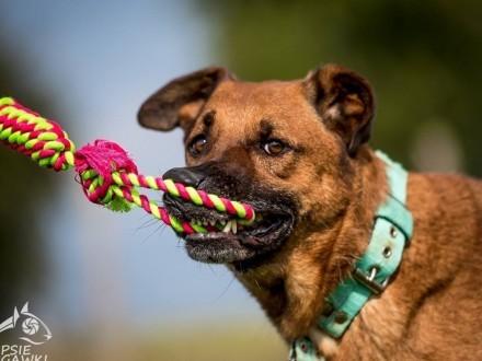 Korin- olbrzym o łagodnym sercu  Wspaniały   przepiękny psiak szuka domku