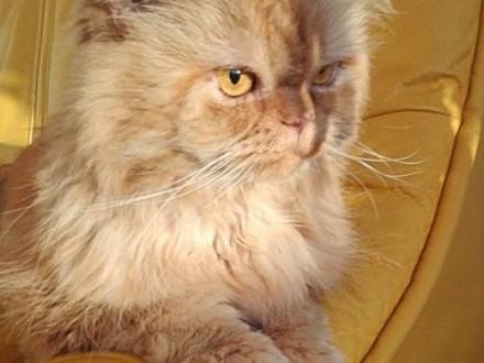 krycie kotów   śląskie Tychy