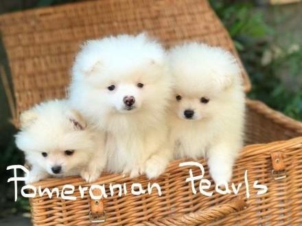 Pomeranian szczeniaki