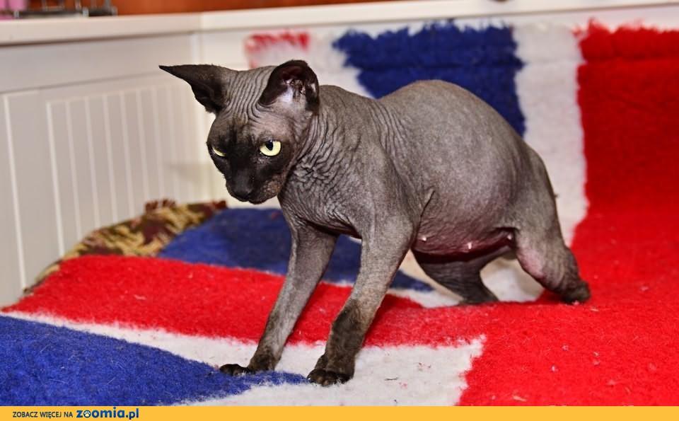 Piekna kotka szuka dobrego domu              Rodowód