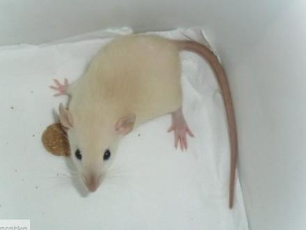 szczury dumbo