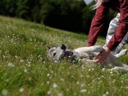 Shaky pies w typie alaskan malamute szuka domu! Adopcja! Malamut!