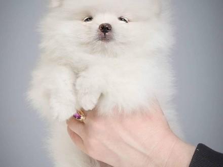 Szpic miniaturowy  Pomeranian  Piesek Boo do odbioru Miot B