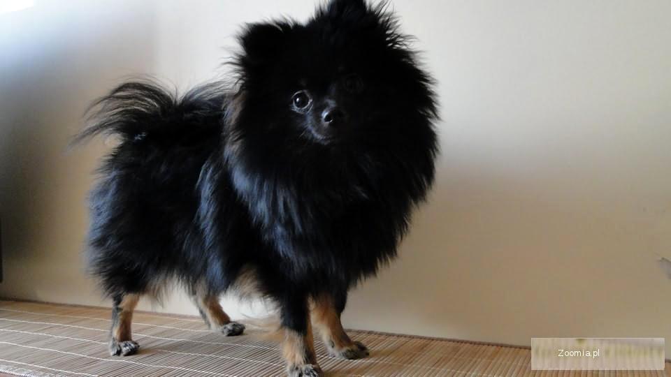 Pomeranian Szpic Miniaturowy Suczka Oraz Piesek