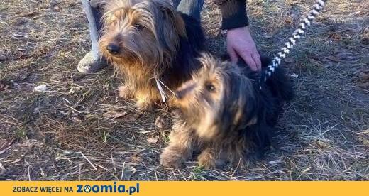 Zaginał 2-letni Bonzo,  mazowieckie Warszawa