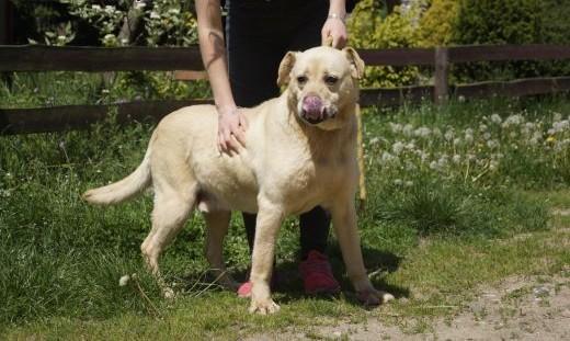 LOTOS biszkoptowy labrador czeka na dom   Labrador retriever cała Polska